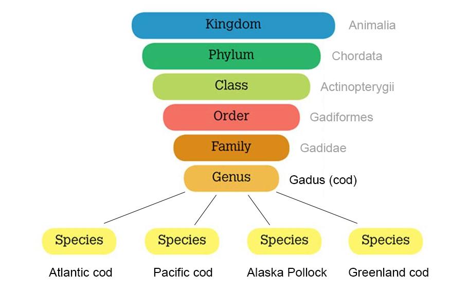 cod-genus-classification-pyramid