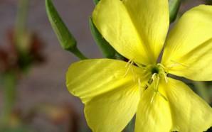 evening-primrose-oil