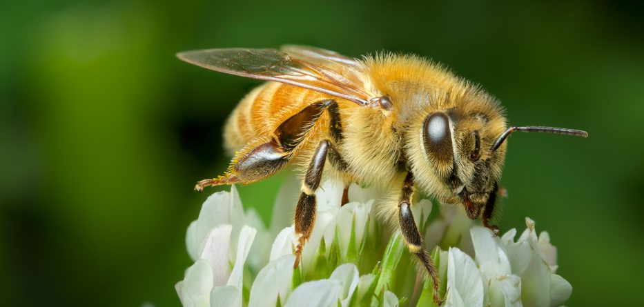 new-zealand-honey-bee