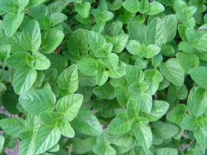 Oregano contains carvacrol, a powerful compound