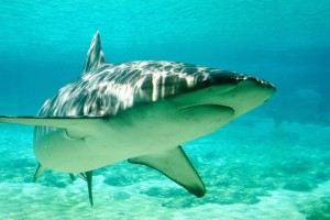Shark antibodies 'may target breast cancer'