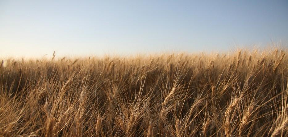 wheat-crops
